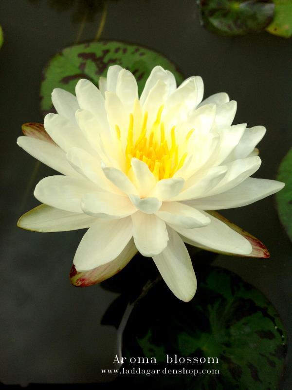 บัว Aroma blossom