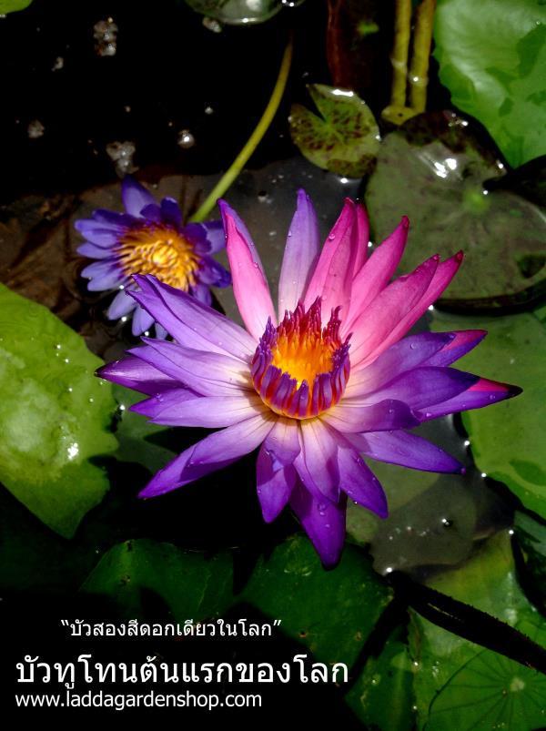 บัวสองสีในดอกเดียวต้นแรกของโลก
