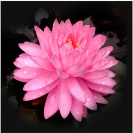 บัว pink pom booming